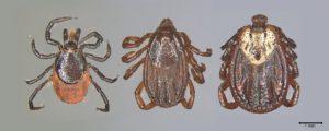 v.l.n.r. Holzbock-Weibchen, braune Hundezecke und Auwaldzecke